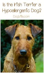 Non Shed Dog Breeds Hypoallergenic by Hypoallergenic Dog Breeds Irish Terrier Hypoallergenic