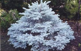 Dwarf Montgomery Blue Spruce