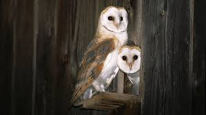 Common Barn-owl (Tyto Alba) Two Juvenile Common Barn Owls At The ... Common Barn Owl 4 Mounths In Front Of A White Background Stock Royalty Free Images Image 23603549 Known Photo 552016159 Shutterstock Owl Wikipedia 644550523 Mdc Discover Nature Tyto Alba Perched On A Falconers Arm At Daun Audubon Field Guide Mounths Lifeonwhite 10867839 Barnowl 1861 Best Owls Snowy Saw Whets Images Pinterest Photos Dreamstime