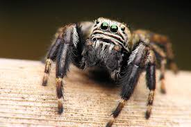 Do Tarantulas Shed Their Fangs by You May Think A Daddy Longlegs Is A Spider