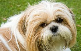 Do Hypoallergenic Dogs Shed As Puppies by Shih Tzu Shedding Explored Do Shih Tzu Shed