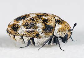 Do Carpet Beetle Bite by Dermestidae Wikipedia