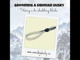 Shedding Blade Vs Rake by Grooming A Siberian Husky Using A De Shedding Blade Youtube