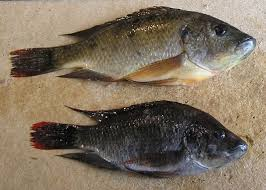 Mozambique Tilapia Hybrid Female Top And Male Bottom Captured From