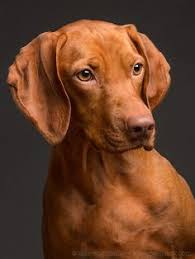 Vizsla Dog Breed Shedding by Magyar Vizsla Kutyák Pinterest Animal