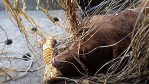 Chesapeake Bay Retriever Shed Hunting by Weatherdeck Report U2014 Weatherdeck Chesapeake Bay Retrievers
