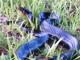 Florida Eastern Indigo Snake - YouTube Backyard Snakes Effective Wildlife Solutions Snakes And Beyond 65 Best Know Them Images On Pinterest Georgia Of Louisiana Department Fisheries Southern Hognose Snake Florida Texas Archives What Is That 46 The States Slithery Species Nolacom Scarlet Kingsnake Cottonmouth Eastern Living Alongside Idenfication Challenge The Garden Or Garter My Species List New Engdatlantic