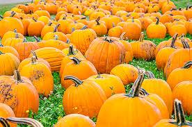 Sauvies Island Pumpkin Patch Corn Maze by Halloween Hoopla At Portland Area Pumpkin Patches Skyblue Portland