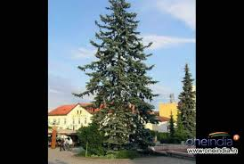 Christmas Trees Types by Types Of Live Christmas Trees Photos Pics 229390 Boldsky Gallery