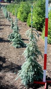 Weeping Blue Spruce Needles With Branches Create A Wonderful Specimen Zone 2