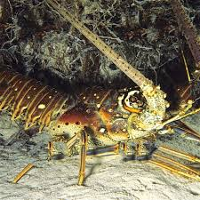 Decorative Lobster Traps Large by Spiny Lobster Spiny Lobster Suppliers And Manufacturers At