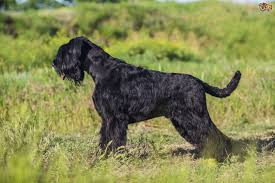 Do Giant Schnauzer Dogs Shed Hair by Giant Schnauzer Dog Breed Information Buying Advice Photos And