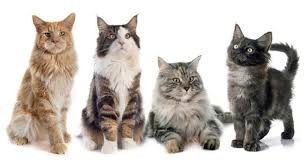 forest cat vs maine coon maine coon admirer everything about the maine coone cat