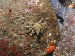 Decorator Crabs And Sea Sponges by Sidney British Columbia Scuba Diving Pictures