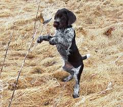 Griffon German Wirehaired Pointer Shedding by Breed Profile German Wirehaired Pointer Gun Dog Magazine