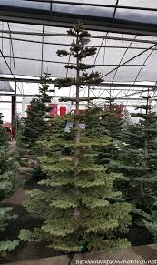 Silver Tip Christmas Tree Oregon by Looking For Some Christmas Decorating Inspiration