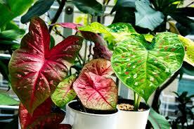 caladium growing indoors in pots tropics home