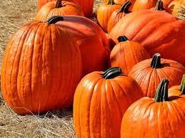 Pumpkin Patch Massachusetts by Topsfield Man U0027s 2 000 Pound Pumpkin Wins Contest Hamilton Ma Patch