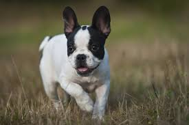 Non Shedding Small Dogs Uk what are the best dog breeds for londoners london evening standard