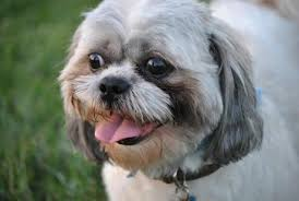 My Lhasa Apso Is Shedding Hair by Top 10 Dog Breeds That Don U0027t Shed