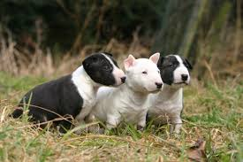 Tiny Non Shedding Dog Breeds by Miniature Bull Terrier