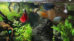 Dwarf Gourami & Betta Fish Tank Aquascape Feeding Time - YouTube Adrie Baumann And Aquascaping Aqua Rebell Natural Httpwwwokeanosgrombgwpcoentuploads2012 Amazoncom Aquarium Plant Glass Pot Fish Tank Aquascape Everything About The Incredible Undwater Art Outstanding Saltwater Designs Photo Ideas Anubias Nana Petite Planted Freshwater Beautify Your Home With Unique For Large Fish Monstfishkeeperscom Scape Nature Stock 665323012