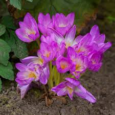 Oca Oxalis Tuberosa The Cultivariable Growing Guide