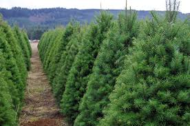 Fraser Fir Christmas Trees Care by Christmas Trees Arb Tree Care