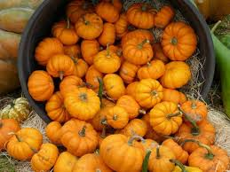 Best Pumpkin Apple Picking Long Island Ny by Best Nyc Pumpkin Patches