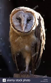 Ashy Faced Barn Owl Stock Photos & Ashy Faced Barn Owl Stock ... White Screech Owl Illustration Lachina Bbc Two Autumnwatch Sleepy Barn Owl Yoga Bird Feeder Feast And Barn Wikipedia Attractions In Cornwall Sanctuary Wishart Studios Red Eastern By Ryangallagherart On Deviantart Owlingcom Biology Birding Buddies 2000 Best 2 Especially Images Pinterest Screeching Youtube