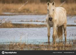 100 Ampurdan Horse Of The Camargue In The Natural Park Of The Marshes Of