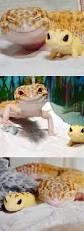 Do Baby Leopard Geckos Shed by 270 Best Leopard Gecko Images On Pinterest Reptiles Amphibians