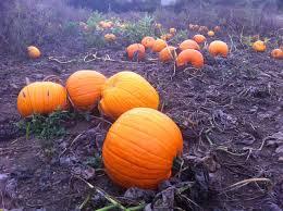 Grims Greenhouse Pumpkin Patch by The Pumpkin Patch Dirt Simple
