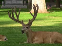 Does Deer Shed Their Antlers by Mule Deer Antler Growth Youtube