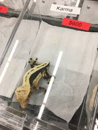 Crested Gecko Shedding Info by Wasatch Reptile Expo 2016 Fall U0027s Top 10 Reptifiles