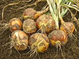 bulb growth is affected by dayight hours and temperature