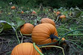 Pumpkin Patch Western Massachusetts by Ashe County Corn Maze And Pumpkin Festival