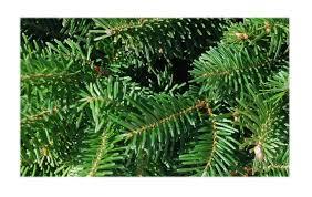 Fraser Christmas Trees Uk by Fraser Fir