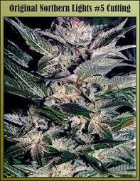 The Origins of Northern Lights Cannabis Strain
