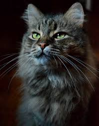 Siberian Cat Hair Shedding by Beautiful Norwegian Forest Cat With Green Eyes Mammals
