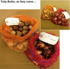 tulip princess irene 25 bulbs or buy in bulk winter bulbs