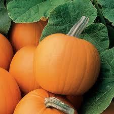 Homemade Fertilizer For Pumpkins by How To Grow Pumpkins How Tos Diy