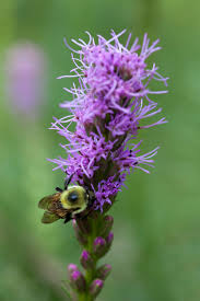 growing liatris plants in containers tips on planting liatris in