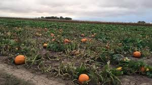 Pumpkin Farms In Channahon Illinois by Mums For Sale Picture Of Heap U0027s Giant Pumpkin Farm Minooka