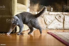 gray scottish fold katze spielt mit spielzeugmaus im wohnzimmer stockfoto und mehr bilder blick nach unten
