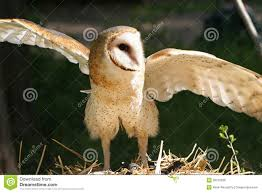 Closeup Of A Barn Owl Raptor With Wings Spread Stock Photo - Image ... Flying Eurasian Eagle Owl Colorfull Winter Stock Photo 304031924 Barn Facts Pictures Diet Breeding Habitat Behaviour Best 25 Owl Sounds Ideas On Pinterest Owls Beautiful Wowzers Blog Centre Gloucester Wikipedia 10 Fascating About Bckling Estate A Barn Owls Home National Trust Birds Of Prey Shavers Creek Raptor Center Kohrphotos The Barn Owl Wallpapersbirds Unique Nature Hd Wallpapers