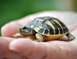 Turtle Shell Not Shedding by Turtle And Tortoise Shells Turtle Shell Health