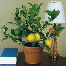 House Plants Lemon Trees