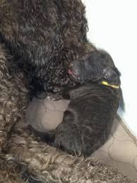 Portuguese Water Dog Non Shedding by Barbet Dogs For Sale Ontario Non Shedding Dogs Dogs That Don