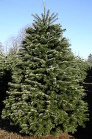 Christmas Trees Types by Different Types Of Christmas Trees